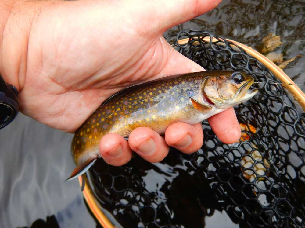 Wild Brook Trout - Fly Fishing Manitoba - Guided Trips ... - photo#27