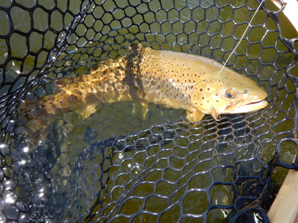 Manitoba Trophy Brown Trout